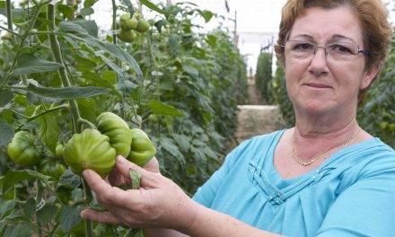 El tomate Dumas en los invernaderos de Almería es de fácil manejo y alta producción