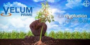 Velum Prime Bayer Anun