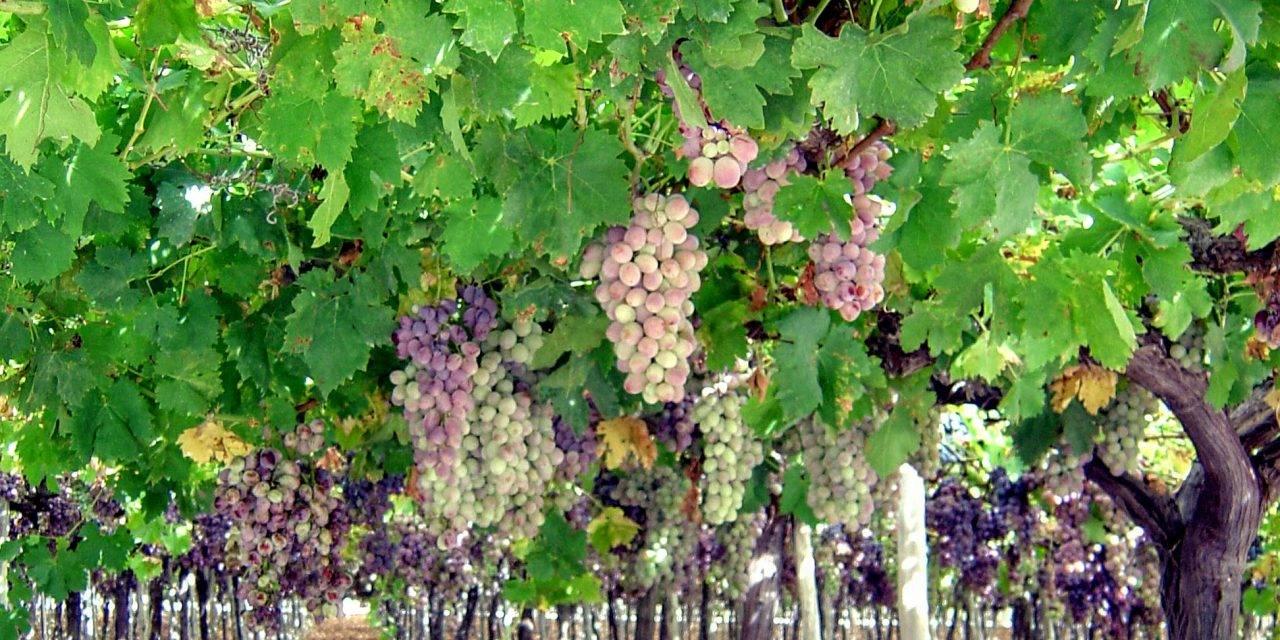 Agendas de los productores de uva de mesa la tendencia es variedades seedless actualfruveg - Variedades de uva de mesa ...