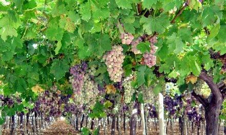 Agendas de los productores de uva de mesa, la tendencia es variedades seedless