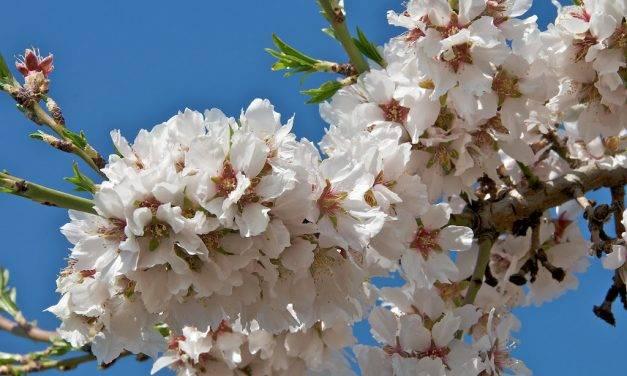 Para favorecer la presencia de osmias o tener abejas eficaces en los campos de frutales ¿qué hay que hacer?