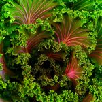 Kale, una col rizada en la cima