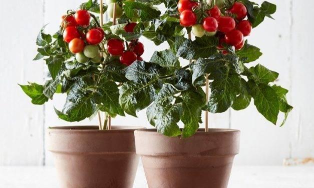 Tomates en maceta en los supermercados de Tesco