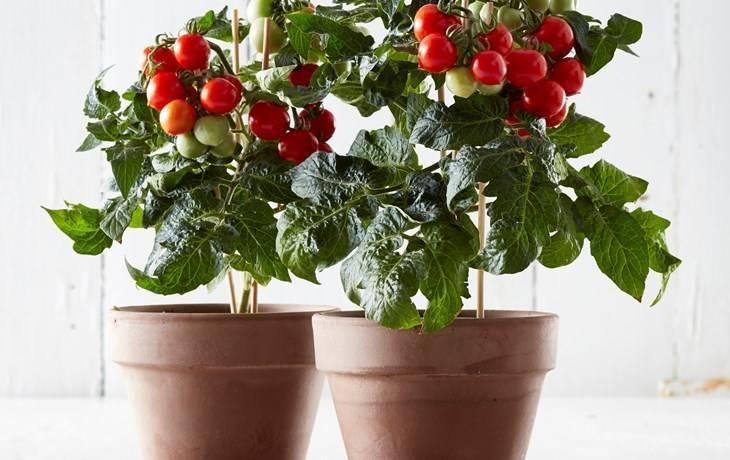 Tomates en maceta en los supermercados de tesco actualfruveg - Tomates cherry en maceta ...