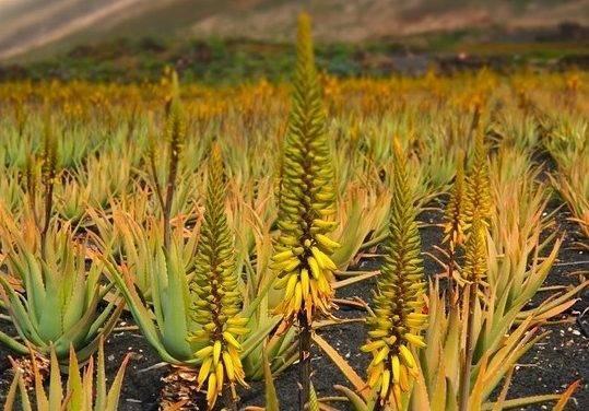 Las propiedades del Aloe vera comprobadas cientificamente