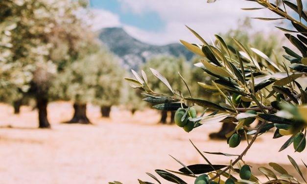 El genoma del olivo silvestre y la evolución de la biosíntesis del aceite