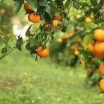 La mandarina Orri, la variedad mejor cotizada del mercado