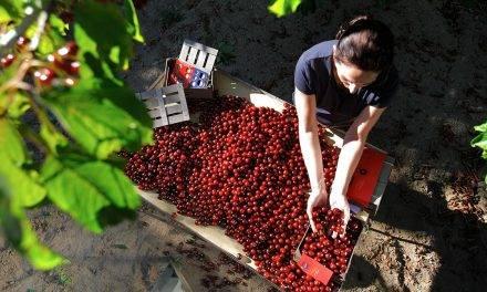 El Valle del Jerte acerca su cereza a los turistas con la Cerecera