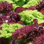La lechuga, un alimento que mantiene todas sus propiedades