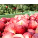 Consorcio VOG: tras un año anómalo, vuelve una cosecha de manzanas plena y de calidad