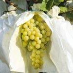La uva, deliciosa, con muchas propiedades y con origen