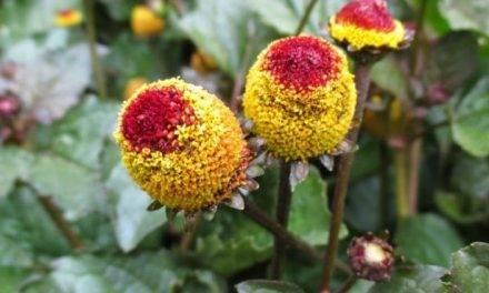 La flor eléctrica prepara la boca para los postres