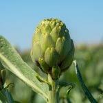 En España se ha alargado la campaña de alcachofa