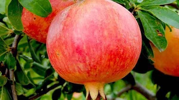 La granada Mollar de Elche, deliciosa, cardiosaludable y antioxidante