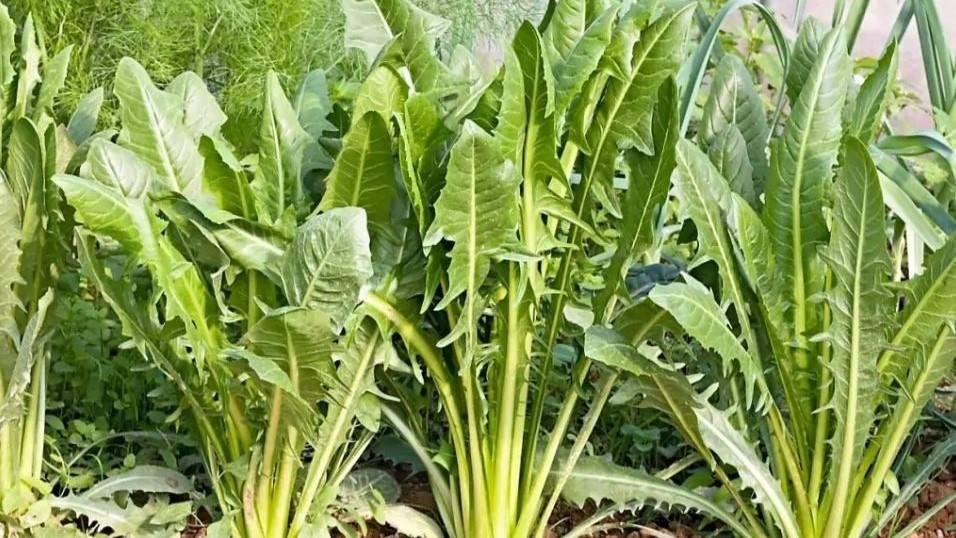 La achicoria de hojas verdes, una hortaliza poco conocida