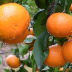 Variedad Orri de mandarina: Nueva imagen en Fruit Attraction 2019