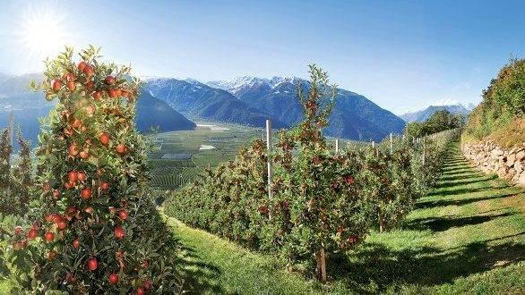 Manzanas Val Venosta con una cosecha de magnífica calidad