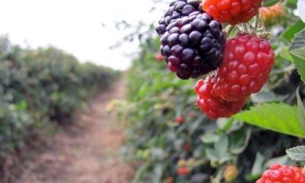 ANEBERRIES otra imagen de marca en la agroalimentación internacional