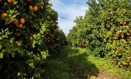 De nuevo en los mercados la mandarina Orri de producción española