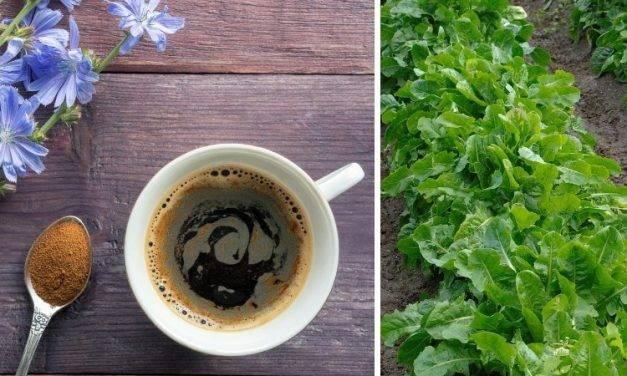 La achicoria, una gran desconocida y alternativa al café