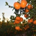 Una Asociación de Productores de la mandarina Spring Sunshine