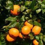 Cifras récord en la última campaña de la mandarina Orri