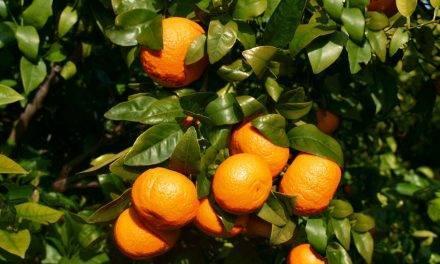 Cifras récord en la de mandarina Orri