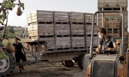 La DOP Pera de Lleida graba a productor durante la cosecha