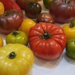"""El proyecto """"Sapiens del tomate"""" se renueva con la participación de Fitó"""