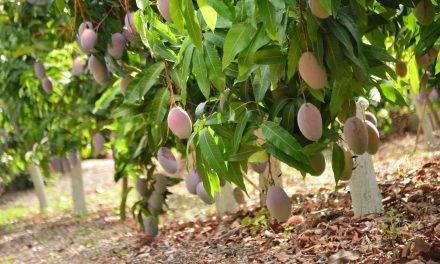 Un club de fruterías acompaña al «mango más mango»