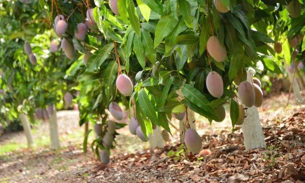 """Un club de fruterías acompaña al """"mango más mango"""""""