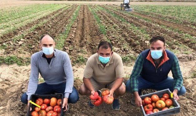 Alcampo comercializa tres variedades de tomate tradicional de Madrid recuperadas por el iMiDRA