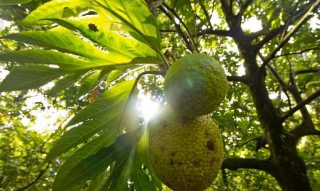 Breadfruit, the next superfood?