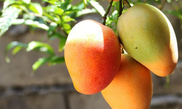 ¿Hacia dónde camina el consumo de mangos en Estados Unidos?