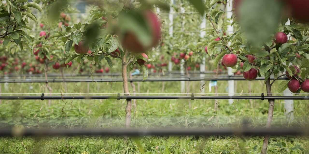 VOG, good sales season and organic apples all year round