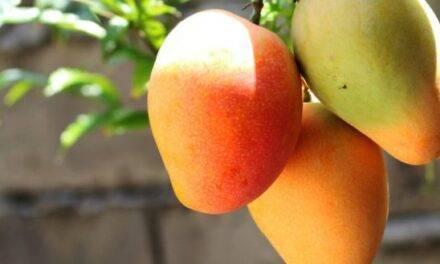 El mango en tiempos del COVID 19