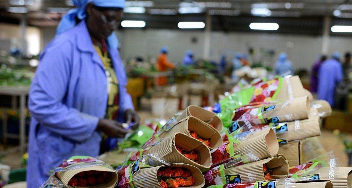 ALDI promueve un San Valentín más sostenible con rosas certificadas Fairtrade
