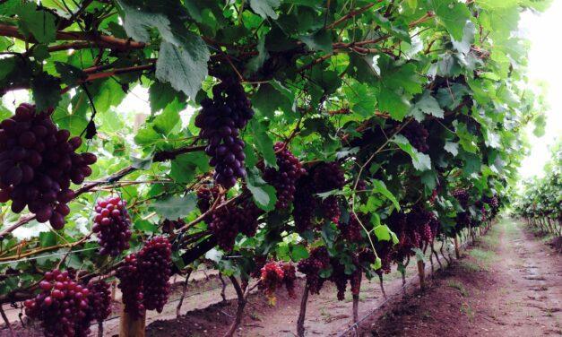 Las uvas vallecaucanas que empiezan a enamorar a Europa