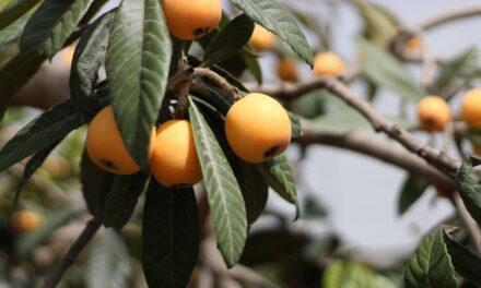 Alcampo llena sus fruterías de níspero de origen D.O.P Callosa d'en Sarriá