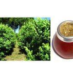 El mate, una bebida estimulante natural, muy rica en nutrientes