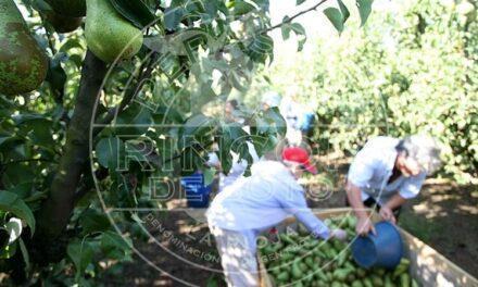 A partir del 18 de agosto, … ¡a disfrutar de las peras DOP Peras de Rincón de Soto!