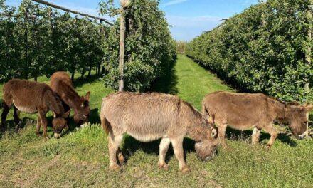 La recuperación del burro para cultivar frutas