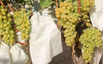 La vid, uno de los cultivos más antiguos de la civilización