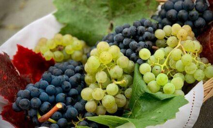 Uvas australes: las viejas variedades quedaron atrás, dominan las nuevas